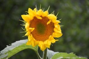 JulySunflower
