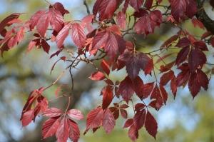Poinson Oak