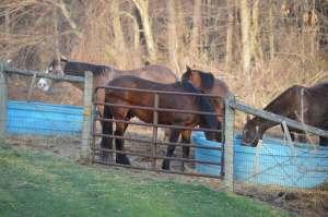 horses eating
