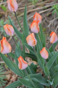 Focus on Tulips
