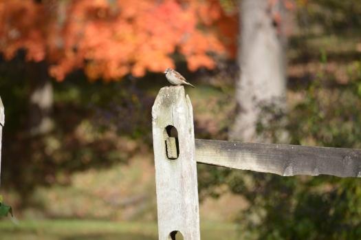 Sparrow on Fencepost