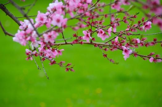 Blossom Peach